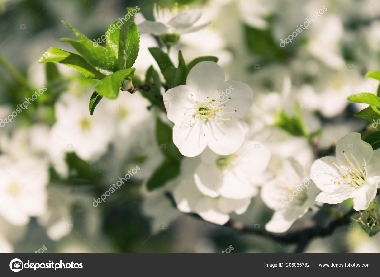 Primer Plano De La Flor De Cerezo Foto De Stock Artverau 206065782