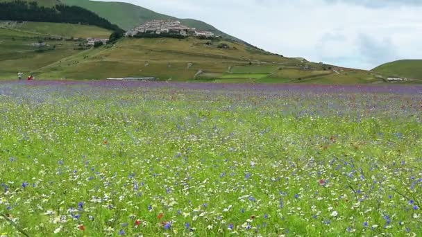 Spring flowering among the crops in the plain of Castelluccio, Italy