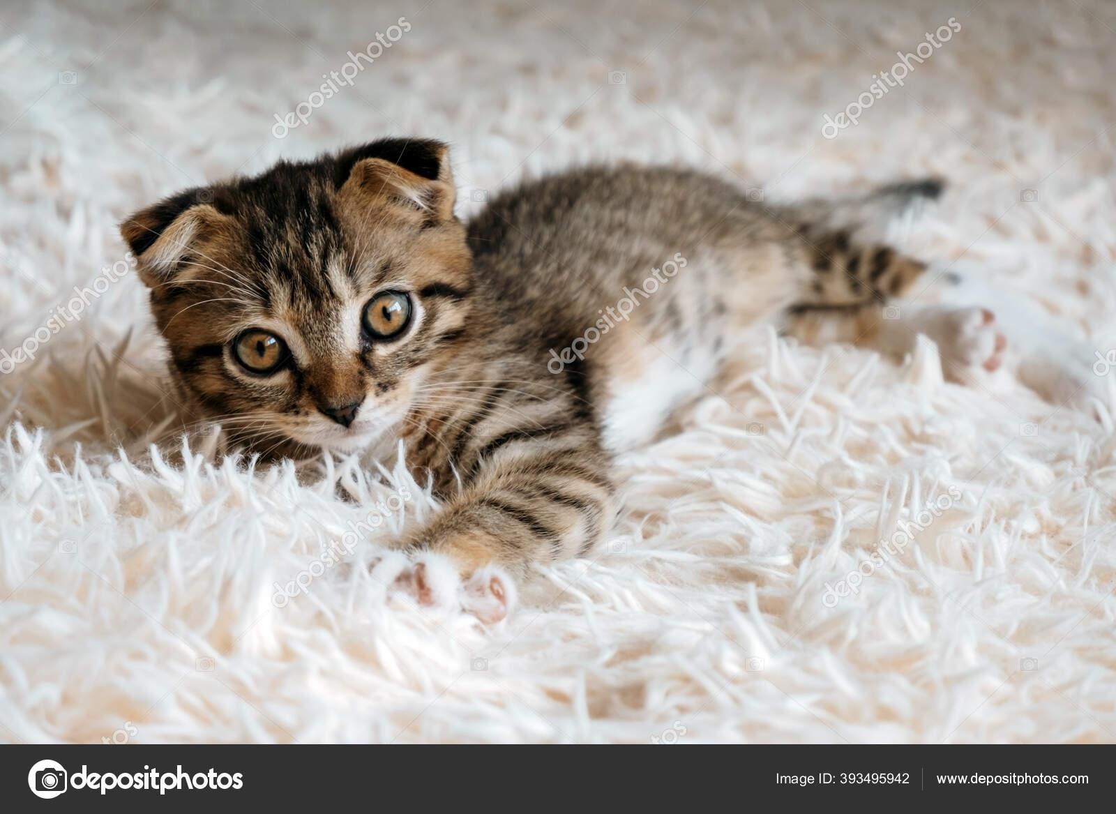 Potret Dari Scottilop Lucu Telinga Kucing Tergeletak Atas Selimut Berbulu Stok Foto C Dvulikaia 393495942