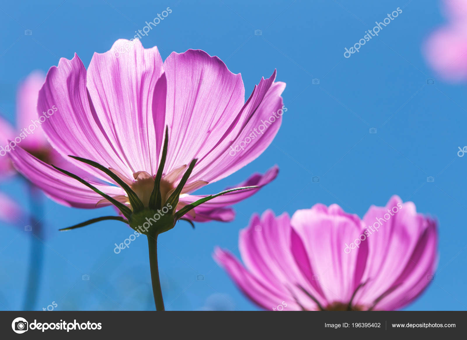 Close Focus On Pink Cosmos Flower With Transparent Petals Touching Sunlight Clear Blue Sky As Background Photo By Skasiansin