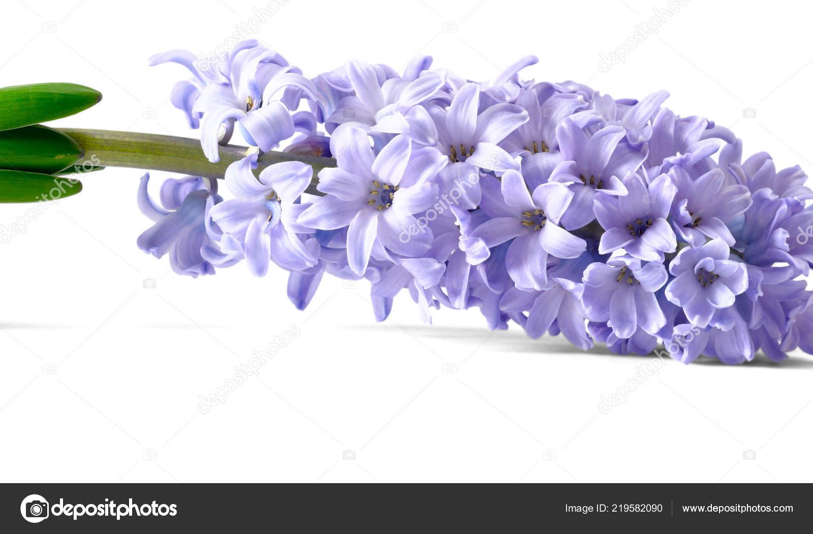 Purple Hyacinth Flower White — Stock Photo © amylv #219582090