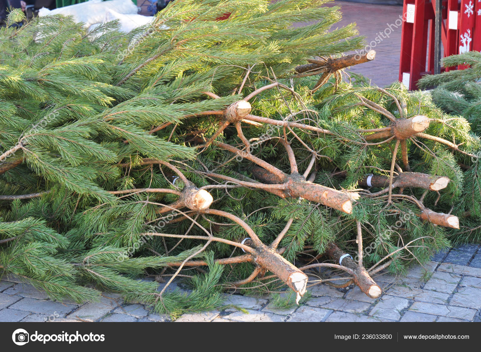 Christmas Trees For Sale.Cutted Pines Christmas Trees Sale Choose Perfect Christmas