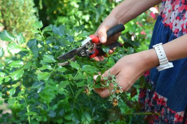 Gardener deadheading roses bush. Deadheading roses is one of the easiest forms of pruning roses.