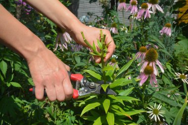 Deadheading, pruning lily flower in summer