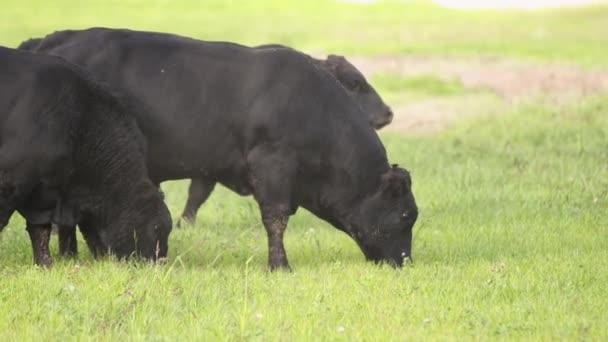 Tanyasi életmód. Nagy bika a réten legelésző és keres élelmiszer