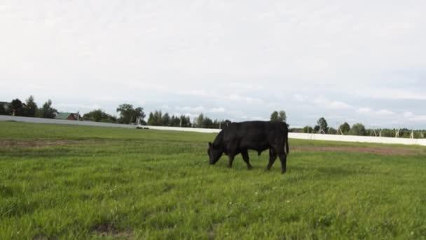 Bikák legeltetés a legelőn, rágás friss fű