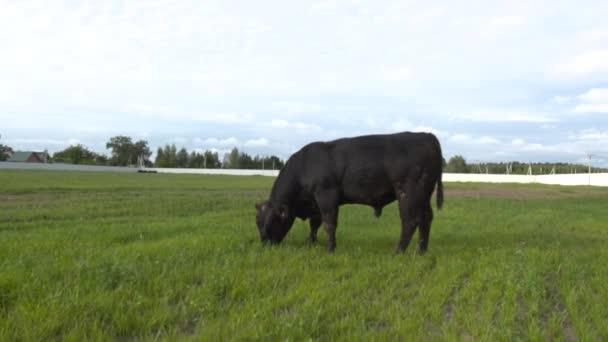 A rágás friss füvet legelő a bikák