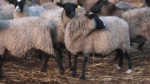 Schaf bleibt in der Nähe der Herde und beißt lockige Wolle auf der linken Seite