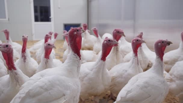 Young turkeys walk around room on poultry farm