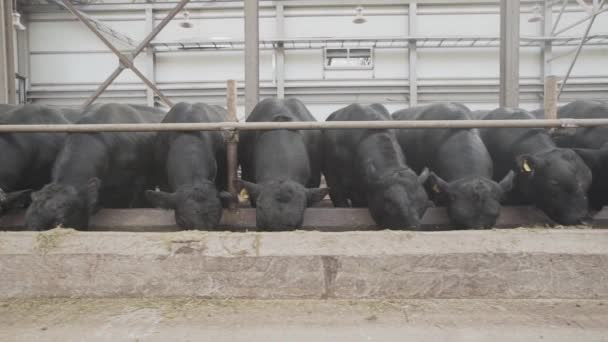 Flock of black cows feeding straw from stable at farm metal barn
