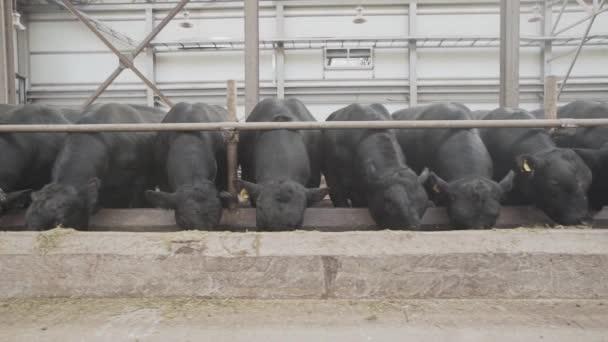 Gregge di mucche nere alimentazione paglia da stabile a granaio del metallo dellazienda agricola