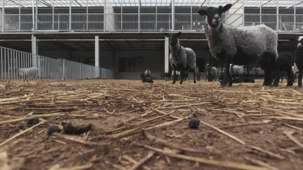Eingezäuntes Gehege mit streunenden Schafen und Lämmern in moderner grauer Tierfarm.