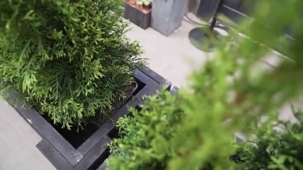 View of cute green coniferous plants put in dark pots with black wooden frame