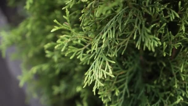 Beautiful green coniferous plants potted in dark pots with black wooden frame
