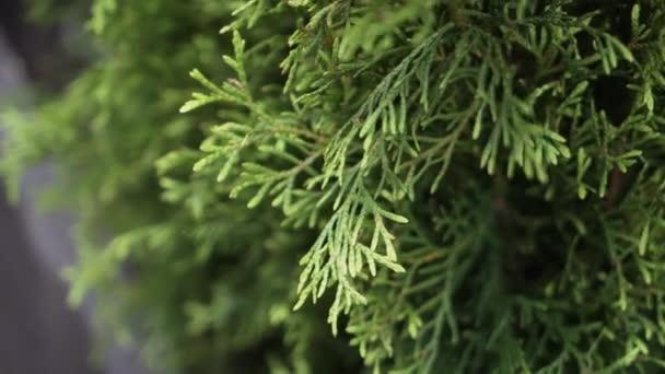 Belle piante di conifere verdi in vaso in vasi scuri con cornice di legno nero