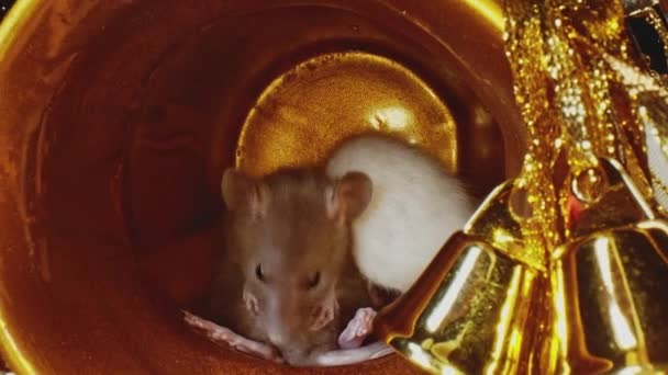 Macro view of small rats with white and grey furs sit in gold Christmas pot.