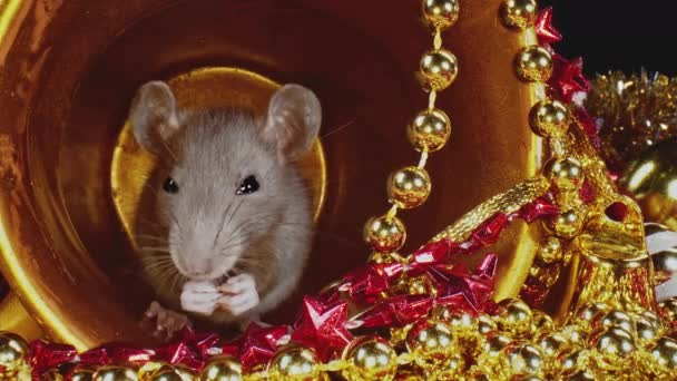 Rat with grey furs is sitting in gold Christmas pot as symbol of year 2020.