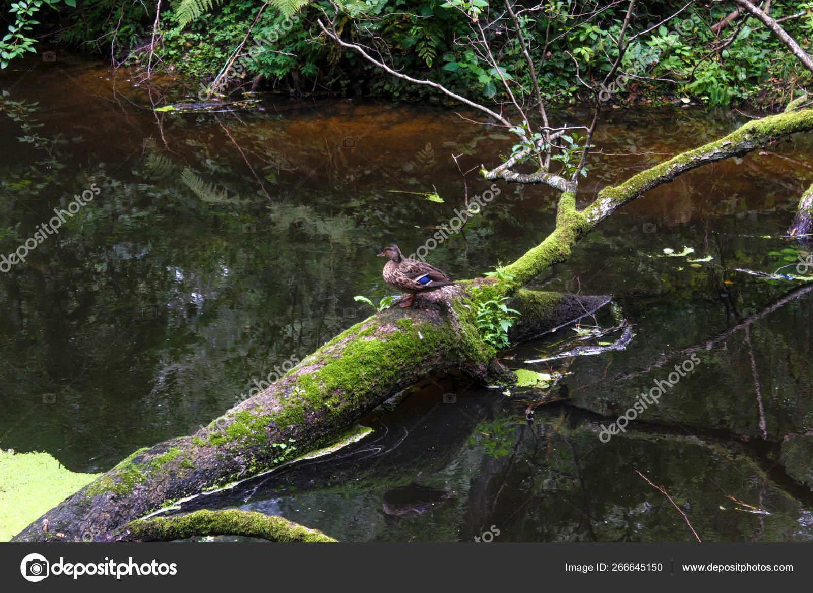 Кряквы. Спаривание и утка на дереве.: f_owl_er — LiveJournal | 1167x1600