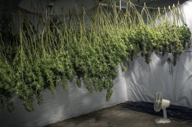 Indoor marijuana growing operation with plants upside down for drying process
