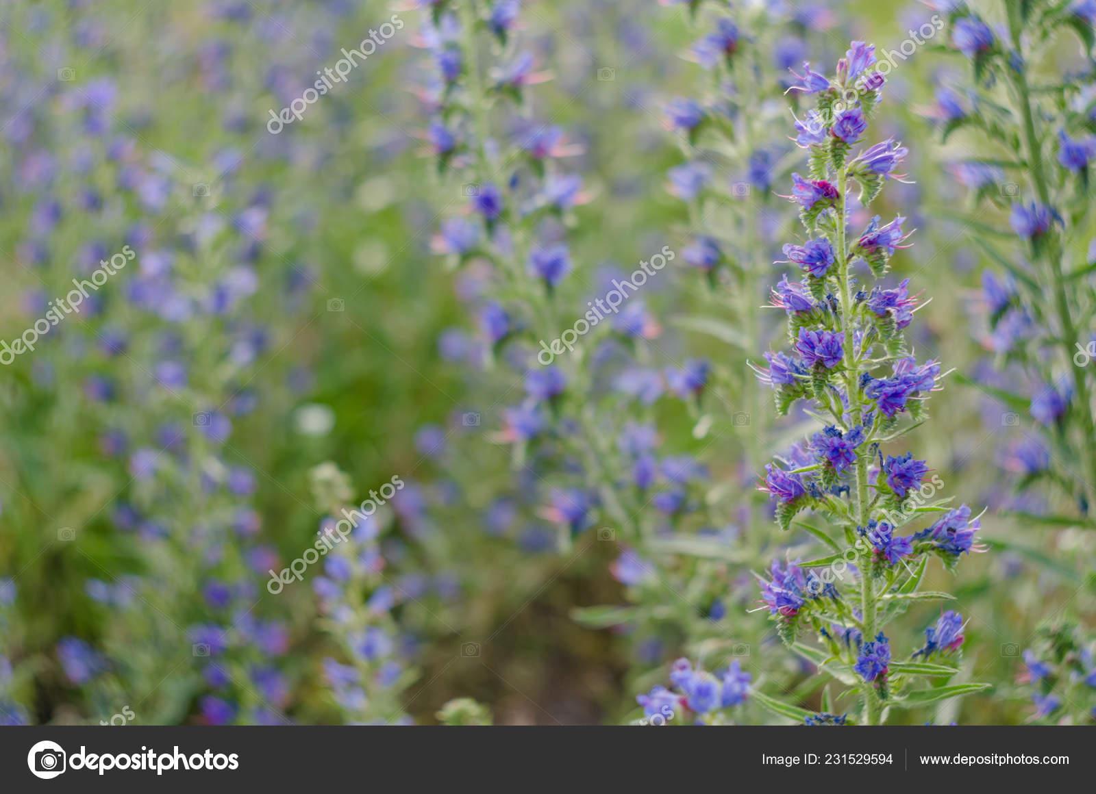 Bello prato blu e viola fiori, messa a fuoco selettiva, profondità di campo\u2013  immagine stock
