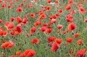 Red Poppies / Poppy Field