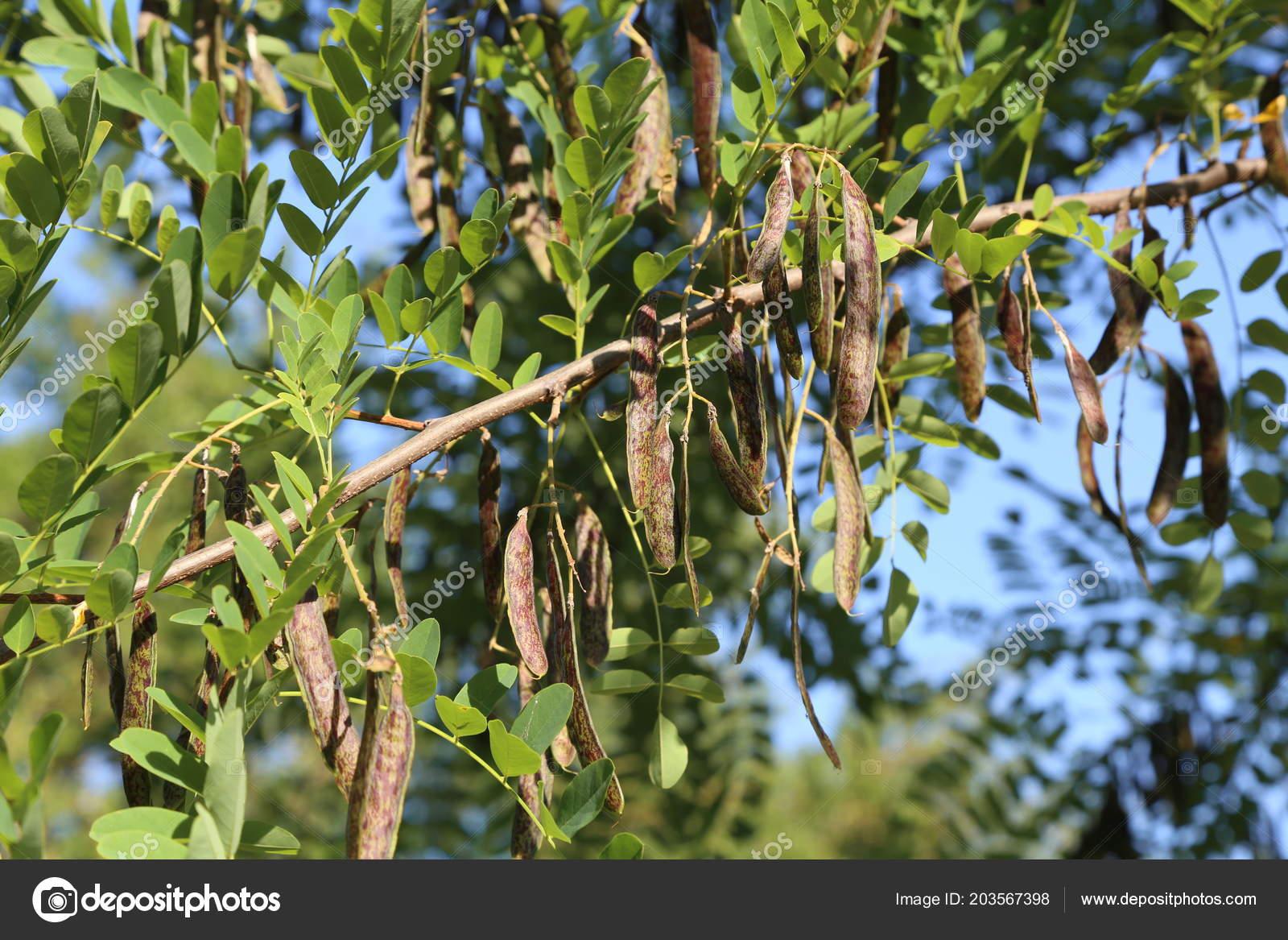 Pods Fruits Branches Acacia Stock Photo Malleo 203567398