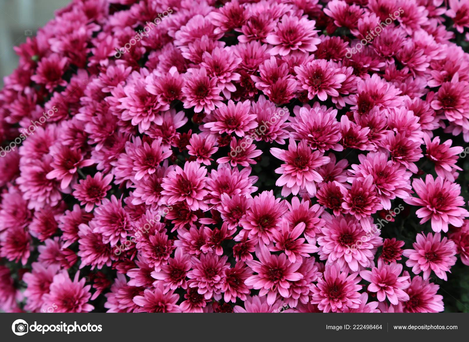 хризантемы разных цветов