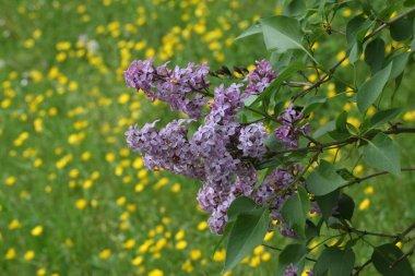 """Картина, постер, плакат, фотообои """"фиолетовые свежие цветы на открытом воздухе постеры"""", артикул 250848300"""