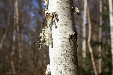 Delamination of birch bark on a tree trunk close up
