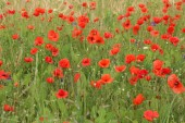 Red poppies in a field in early summer