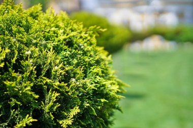 Park with beautiful bushes and a green lawn. Lawn in front of the house in nature. Landscape design. Stock Photo