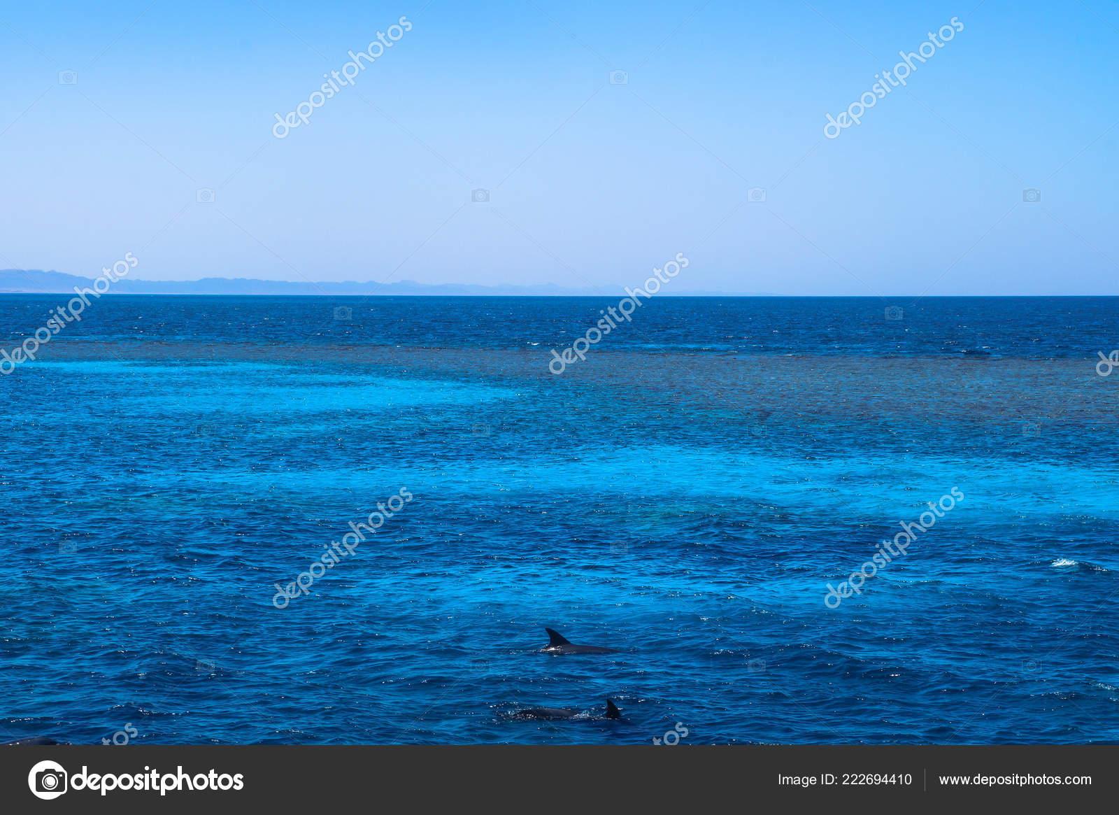 Kleurplaten Van Dolfijnen.Kleurplaten Van Dolfijnen Tegen Achtergrond Van Rode Mora Egypte