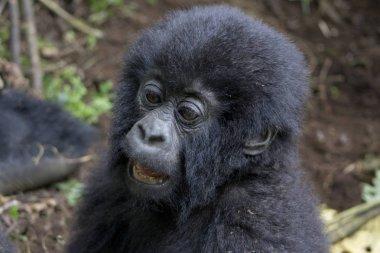 Baby Gorilla in the wild, Virunga National Park, Rwanda