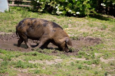 Large Oxford Sandy and Black rare breed pig in a muddy field