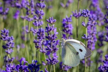 Cabbage White Buterfly (Pieris brassicae) on a lavender flower