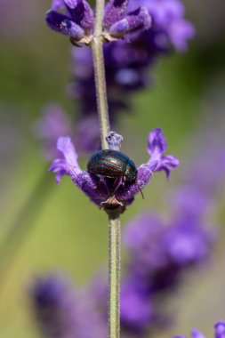 Rosemary Beetle on a lavender plant