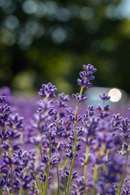 Field of lavender flowers (lavandula angustifolia)