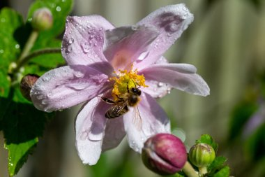 Honey bee gathering nectar from Japanese Anemone flower
