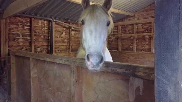 Hlava bílých koní vykukuje ze stáje.