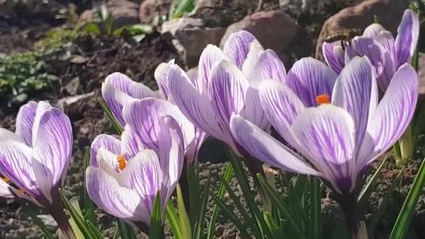 Včely sbírají nektar na jarní fialové květy krokusu. Handheld. 4k zpomalený pohyb