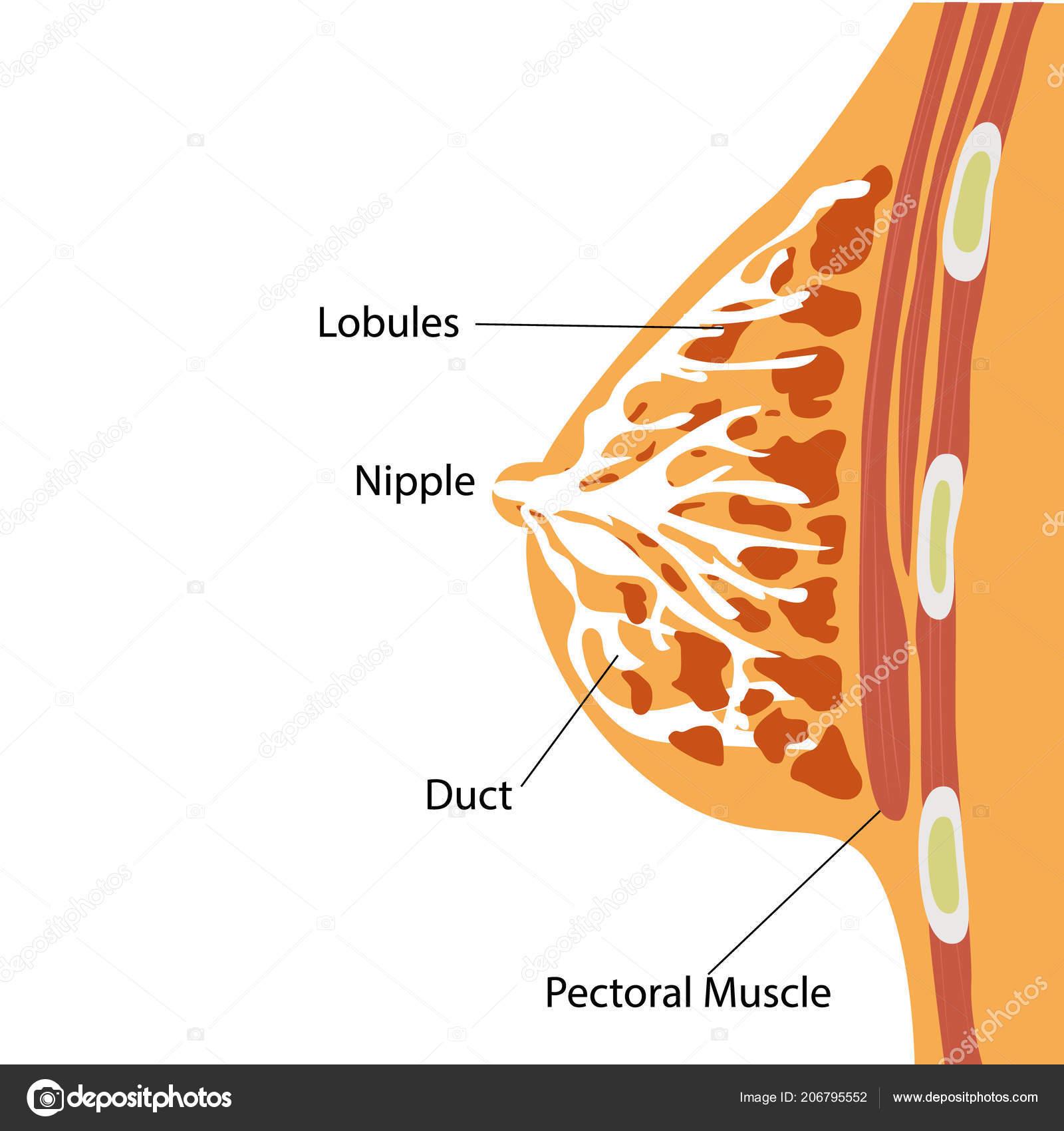 Ilustración Vector Mama Glándula Estructura Anatómica — Vector de ...