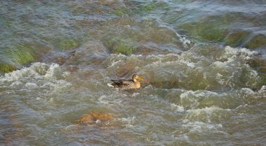 Wild duck in the boiling water on the river threshold