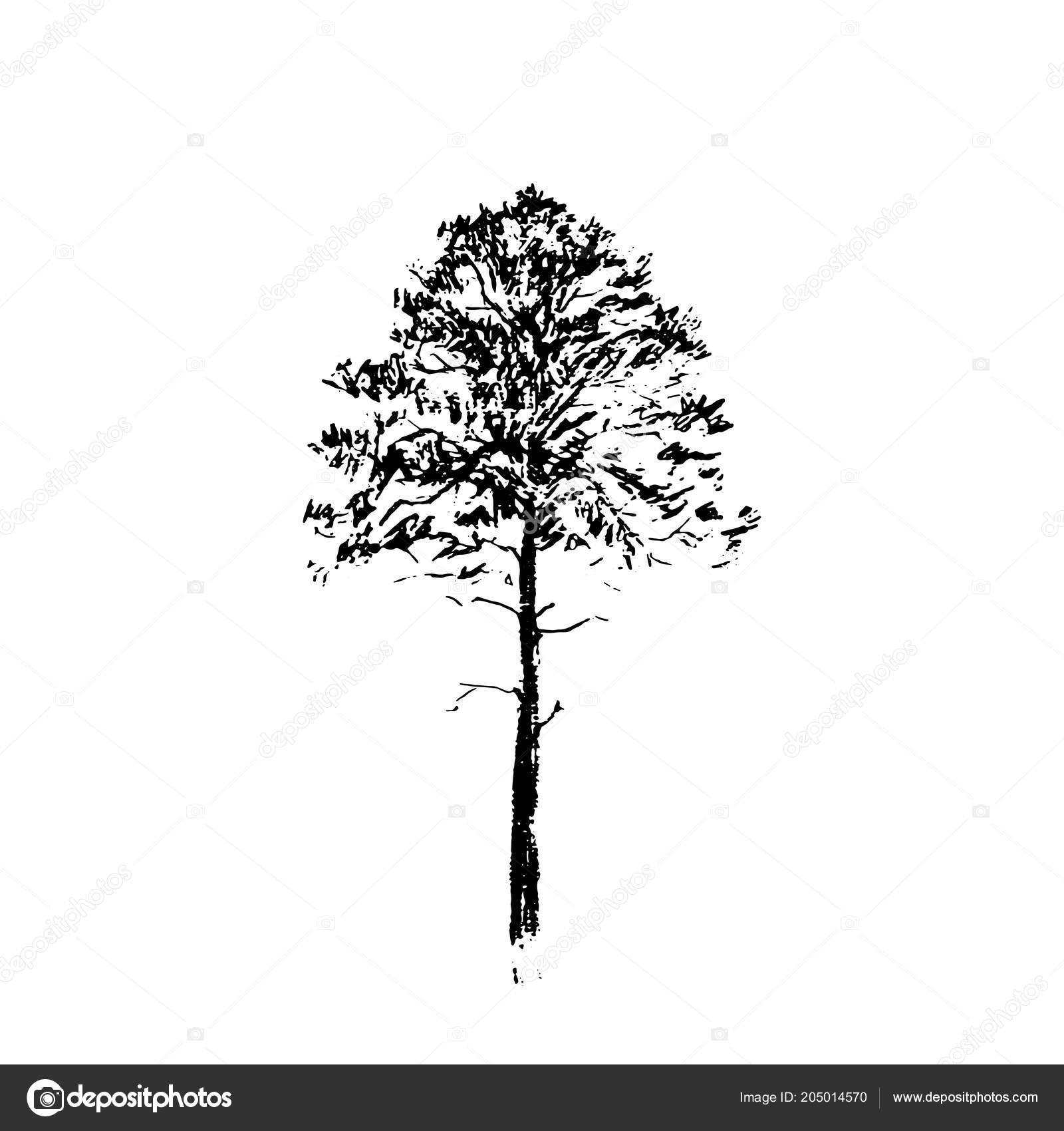 Borovice Cerna Carova Kresba Izolovane Bilem Pozadi Rucne Kreslene