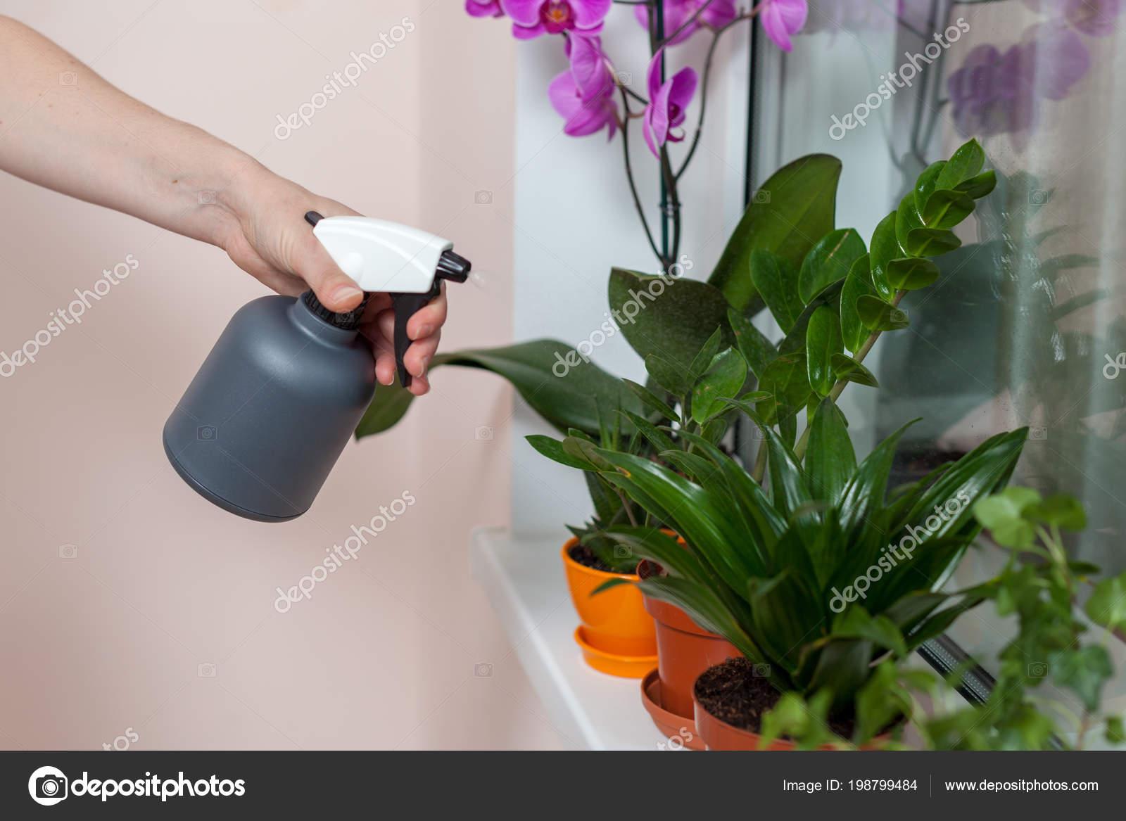 die mädchen floristen bewässert die zimmerpflanzen von der