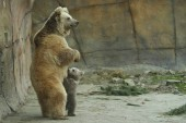 Photo View of brown bear cub with bear sow playing in zoo