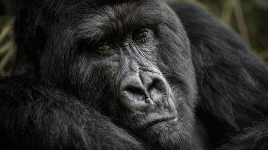 Close view portrait of black gorilla