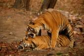 Vad tigrisek párzás a természetben élőhely. Wildlife jelenet veszélyes állatok.