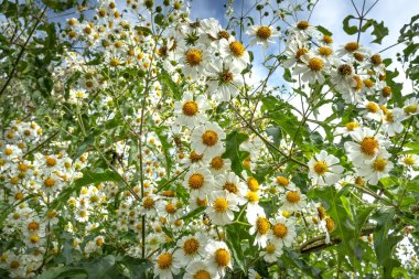Close up  view of white wildflowers on meadow