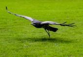 Fotografie Black-Chested Buzzard-Eagle flies low over grass, approaching his prey at a bird rescue center in Ecuador