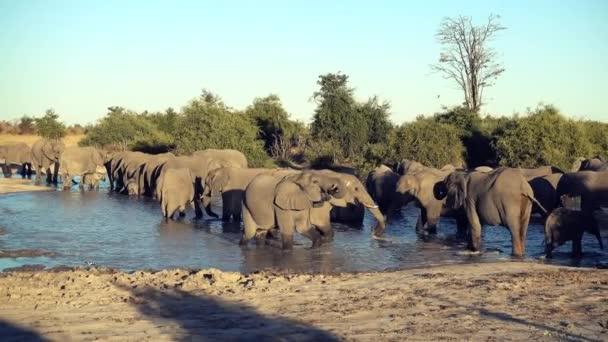 Eine Elefantenparade (oder Herde) trinkt aus einem natürlichen Wasserloch in Botswana